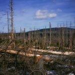 Baumsterben am Brocken